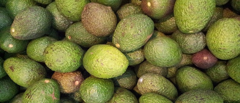 avocado ziehen