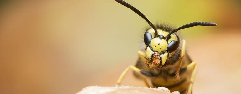 Hausmittel gegen Wespen